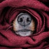 Când un câine trebuie sã se plângã de frig?